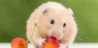 erotic hamster